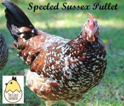 Speckled Sussex Pullet