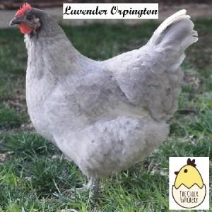 Lavender Orpington