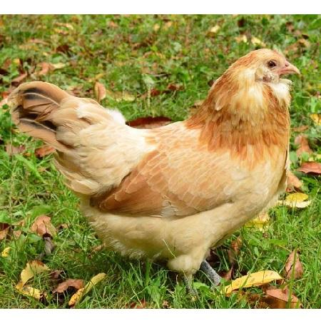 Easter Egger Bantam – The Chick Hatchery