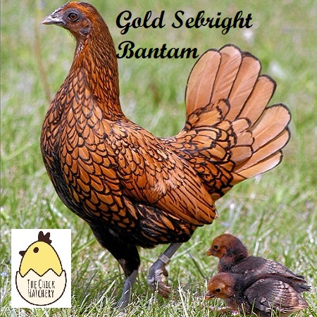 Golden Sebright Bantam – The Chick Hatchery