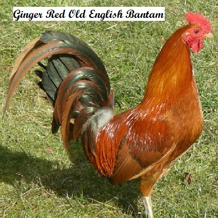 Ginger Red Old English Game Bantam – The Chick Hatchery