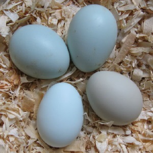 Colored Egg Layers