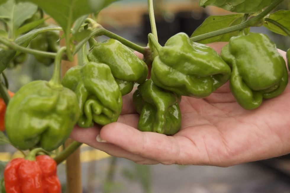 7 Pod Chaguanas Fresh Chillies