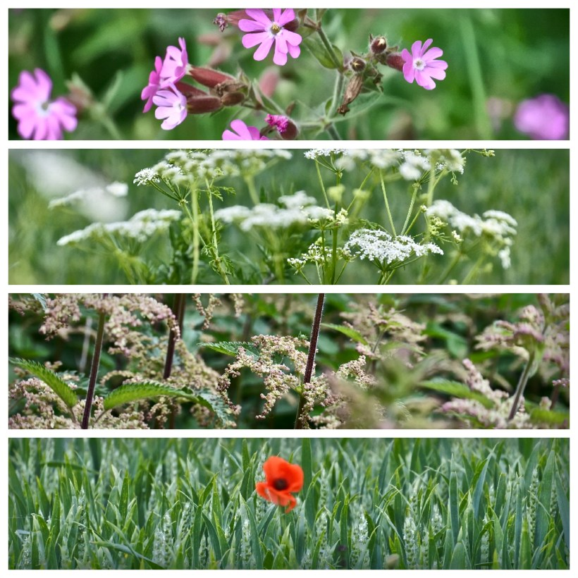 Wild flowers at Someries Castle