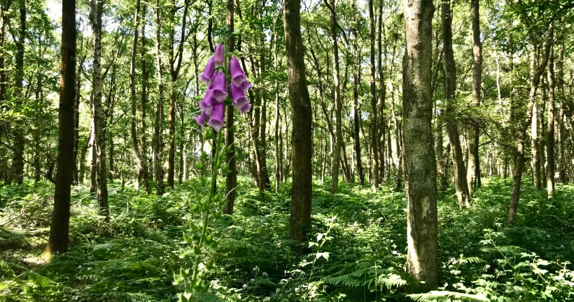 Fox glove in the Chilterns