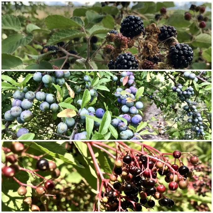 Blackberries, Sloe berries and elderberries