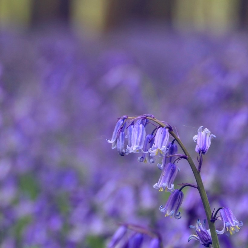 Bluebells are synonymous with an English and Chilterns spring