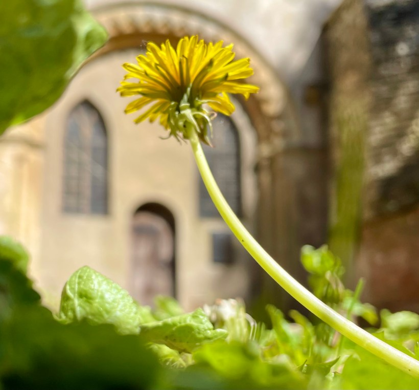 A dandelion in the nave of St John the Baptist