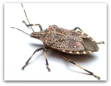 The Cincinnati Stink Bug