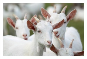 photo of goats