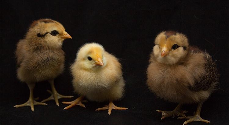 photo of baby chicks