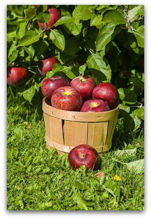 photo of apples on tree