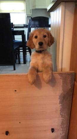 Meet Holly, she's six months old and recently moved in with her new family in Terenure. She is a beautiful Golden Retriever. Photo Credit: Amy Tumelty
