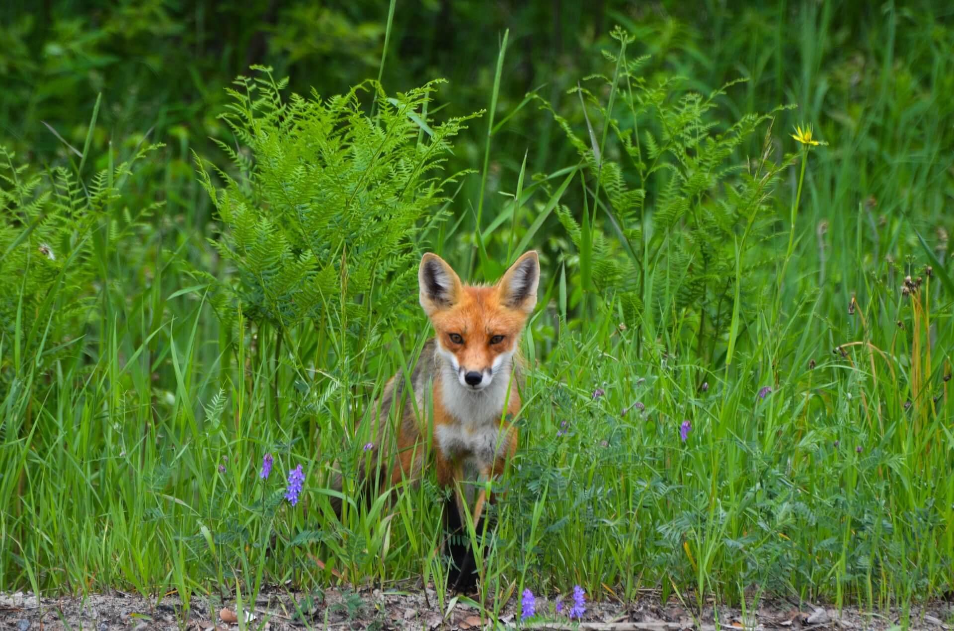 fox-1123444_1920