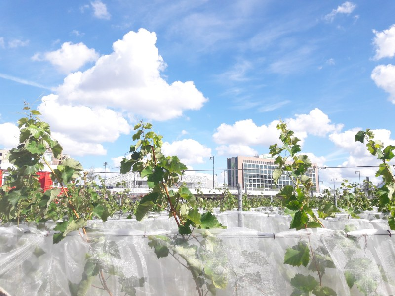Tijd om te oogsten in Stadswijngaard van Bret