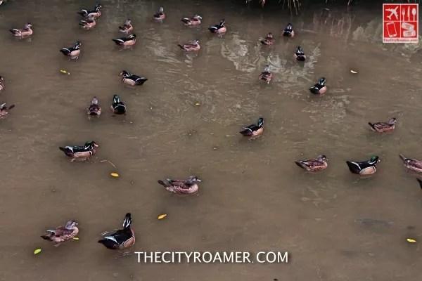 Ducks at Taipei Zoo_Fotor