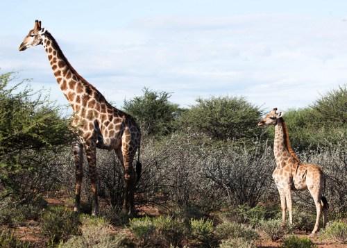 Scientists Confirm Giraffe Dwarfism