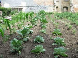 Garden in Chicago grows vegetables