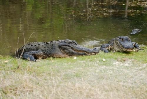 Alligator-16