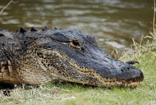 Alligator-3