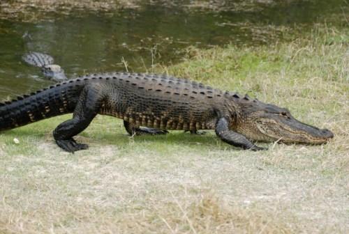 Alligator-7