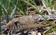 28-Bull Snake