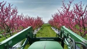 nectarines blooming