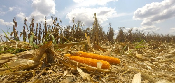 Fancy-Farm-Popcorn-in-the-fieldya (1).jpg