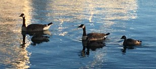 Canada Geese parenting this summers goslings