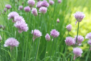 Chives | The Coeur d Alene Coop