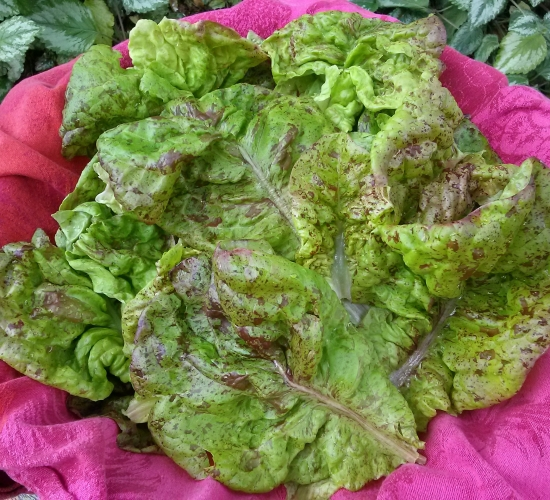 speckles lettuce cut
