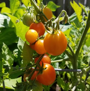Isis Candy Heirloom Cherry Tomato | The Coeur d'Alene Coop