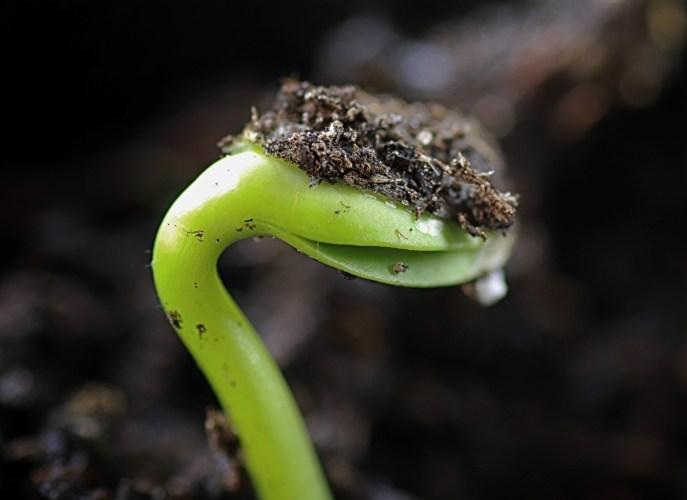 Bean seed germinating | The Coeur d Alene Coop