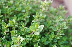 Thyme | The Coeur d Alene Coop