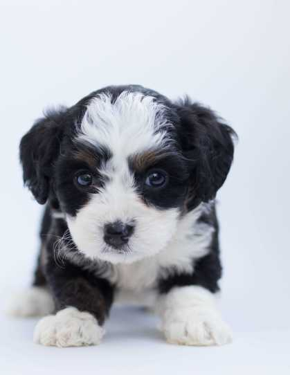 sheepdog border collies puppy dog breed