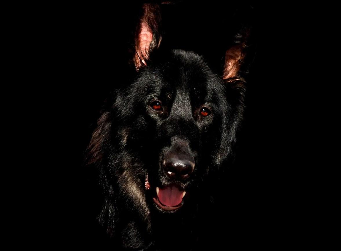 german shepherd police dog k9 units