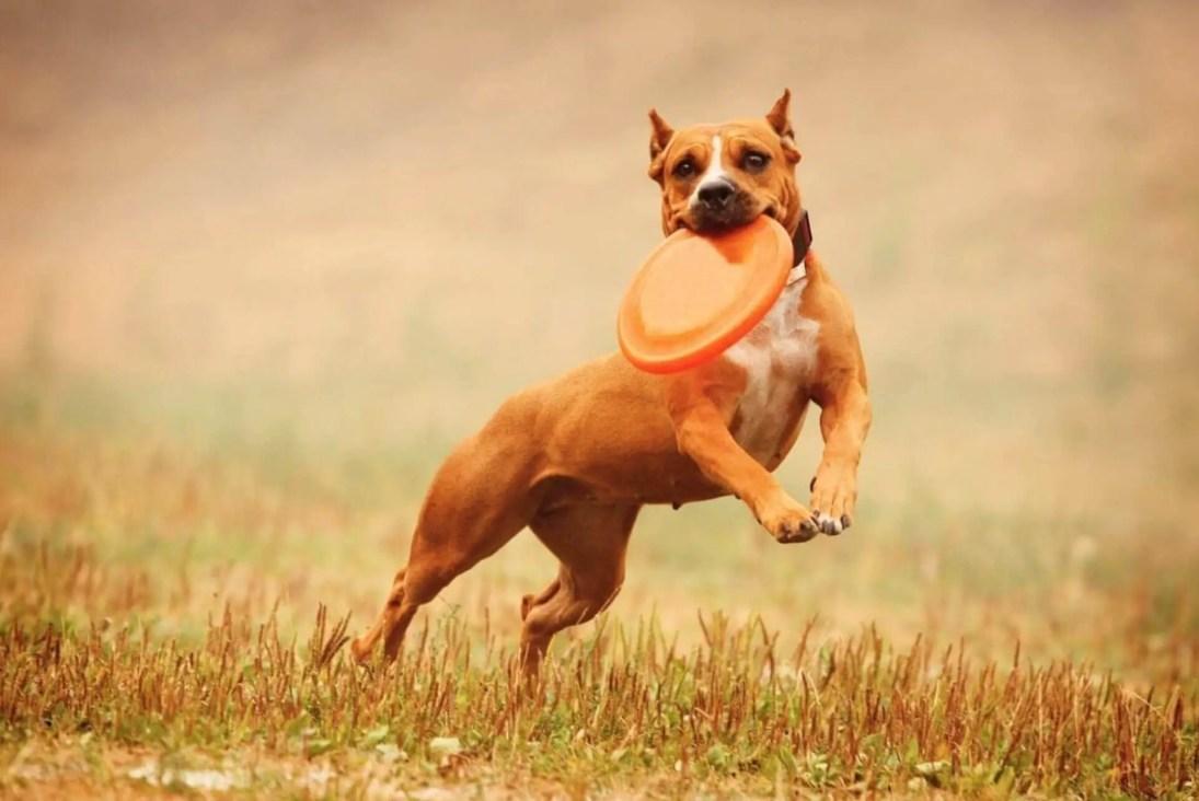 pitbull che corre con frisbee in bocca - i migliori giochi per cani su amazon
