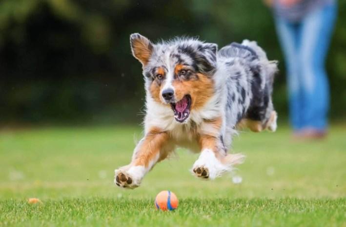 keep your dog busy indoor, australian shepherd chasing tennis ball