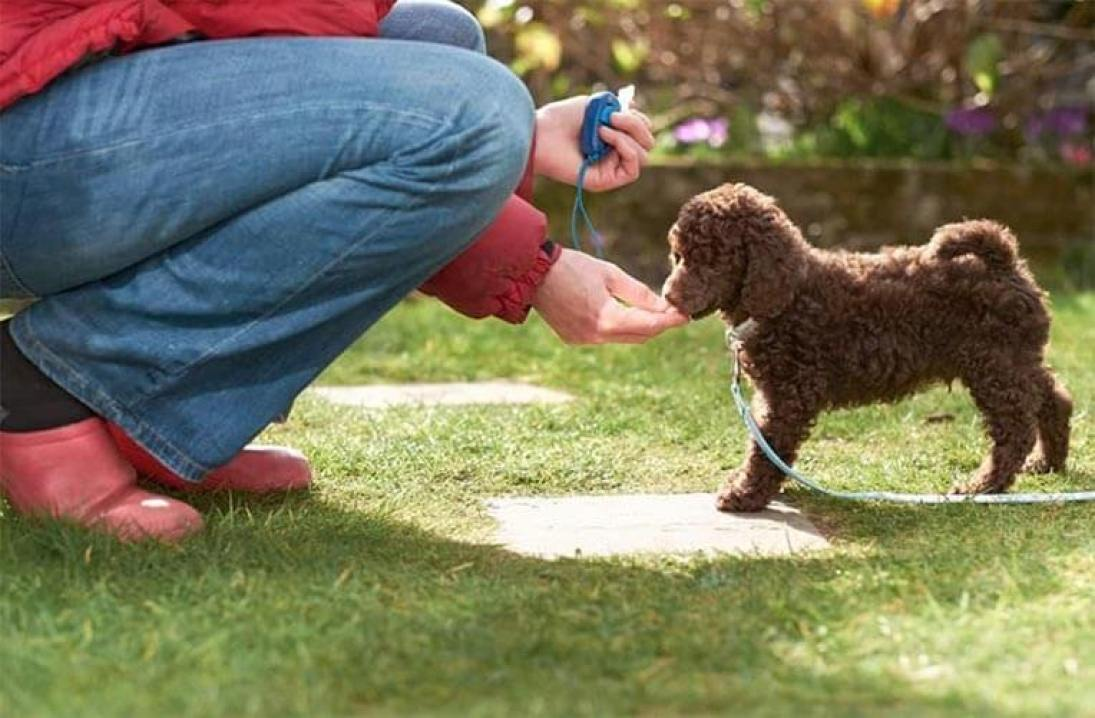 poodle clicker dog training positive reinforcement