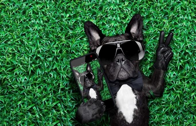pet photography french bulldog making selfie