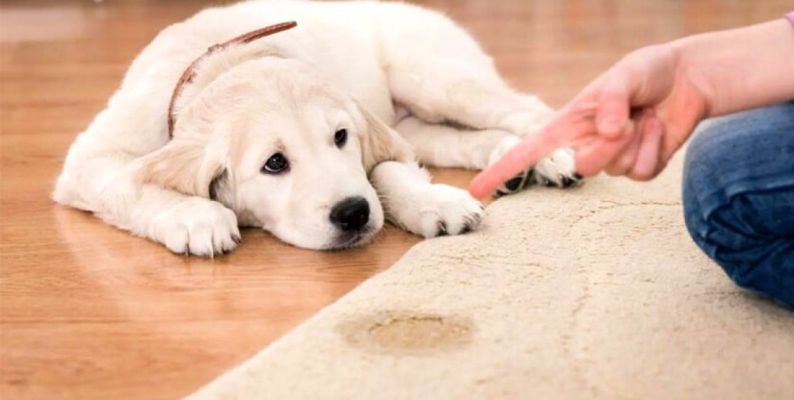 puppy make pee in the house