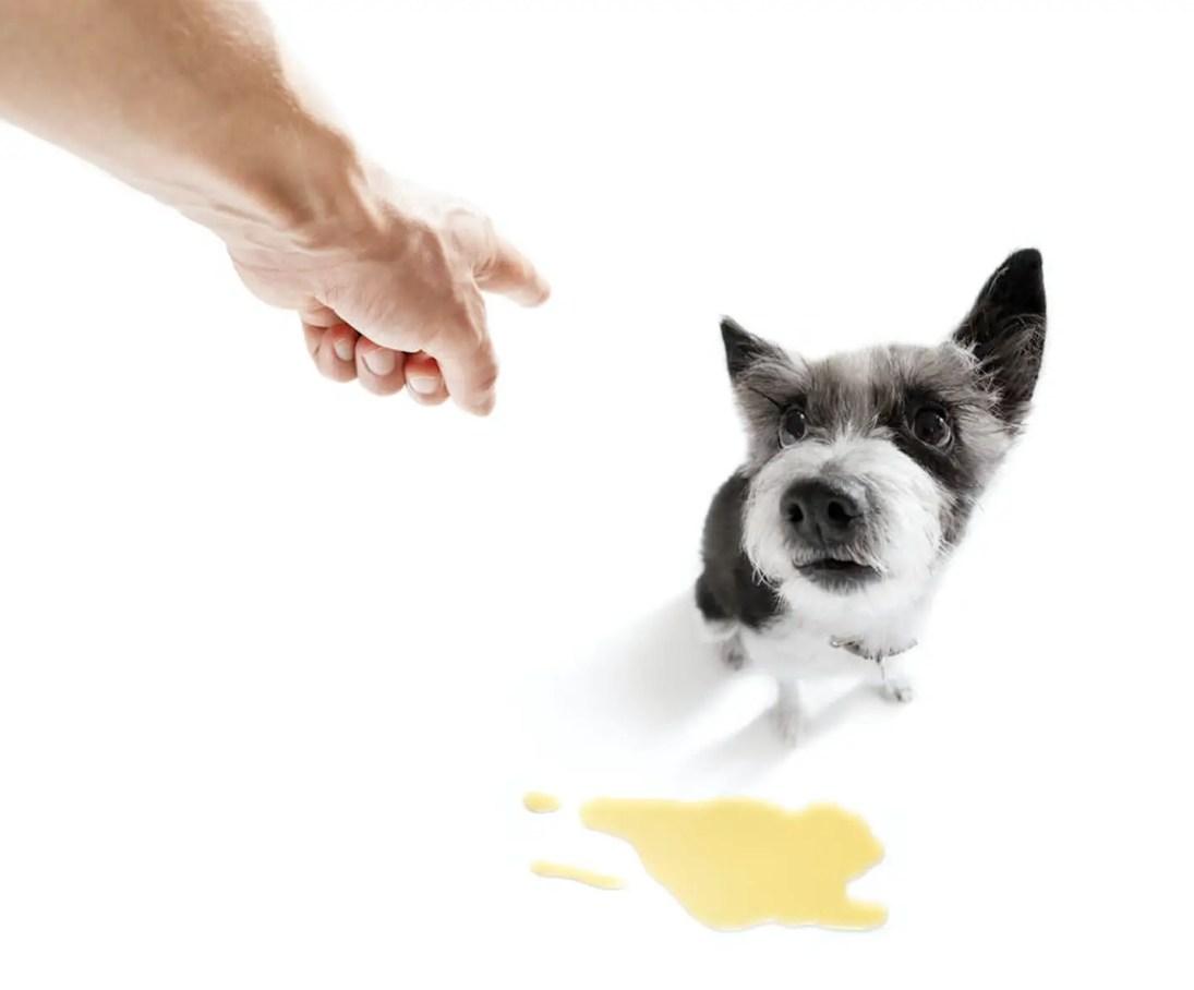 educare e Insegnare al cucciolo di cane a fare pipi e bisogni fuori 1