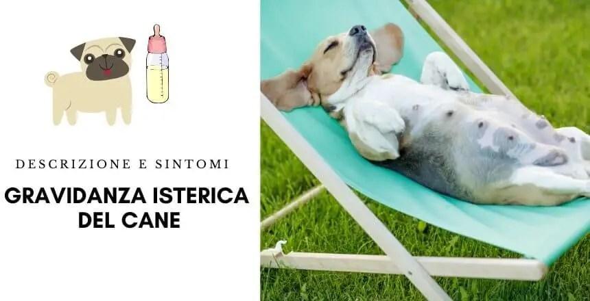 Gravidanza isterica del cane - falsa gravidanza del cane - pseudociesi del cane 7