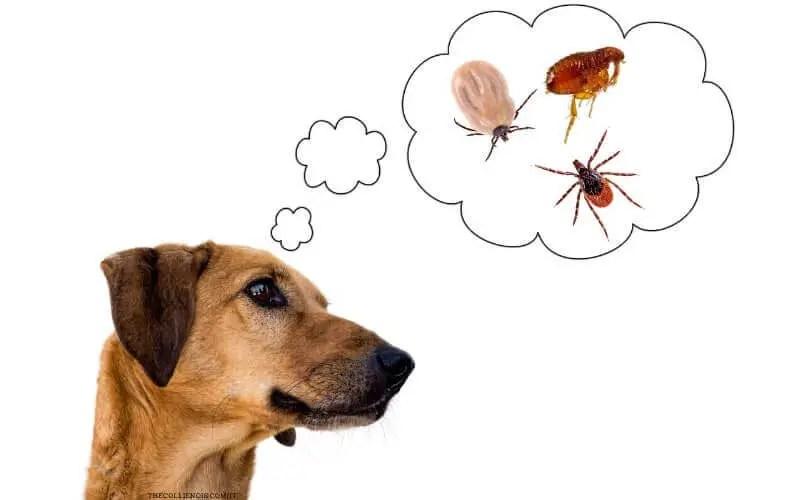 Zecca del cane - malattie trasmesse dalle zecche ai cani