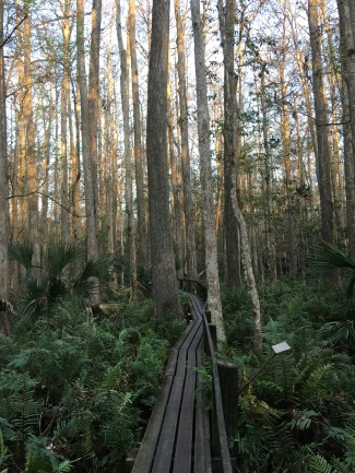 Boardwalk in cypress swamp