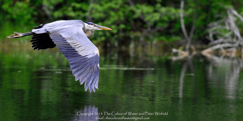 blue-heron-in-flight-6-front-page