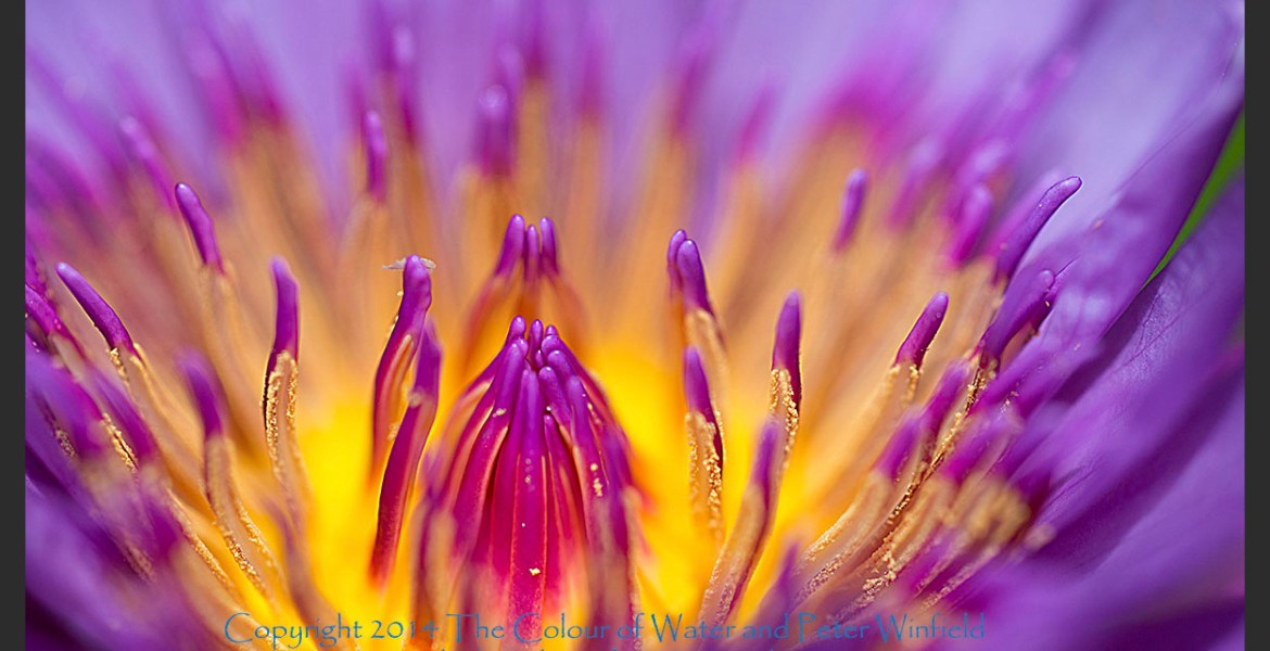 Heart of Gold, Purple Water Lily