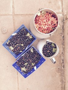 9lbs of black currants - still measuring up the red ones!