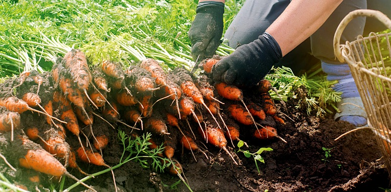 Gleaning local farmers carrots for The Community Kitchen