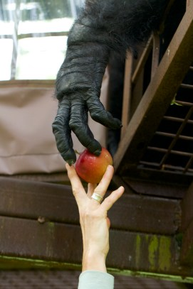 Founder Gloria grow handing an apple to a chimp. Photo by ©NJ Wight.